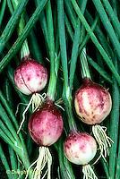 HS16-132x  Onion - mini onions - Purplette Mini variety