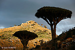 Dragonnier (dracanea cinnabari) sur le plateau de Diksam. Cet arbre relique n'existe plus qu'a Socotra (environ 7000 individus)Ile de Socotra. Yemen..Dragon's blood tree (dracanea cinnabari) on the Diksam plateau. This endemic tree is really rare (7000 only in Socotra) Socotra island. Yemen
