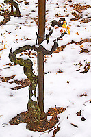 An old Syrah vine in Cornas that has just started to grow leaves. Vineyards under snow in seasonably exceptional weather in April 2005. Cornas, Ardeche, Ardèche, France, Europe