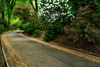 Rhododendron lined road into Trengwidden Gardens, England, Cornwall