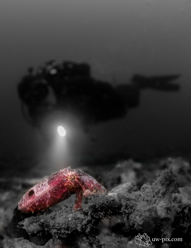 Pygmy cuttlefish (Sepia bandensis) with diver