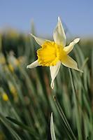 Narcissus 'Princeps'