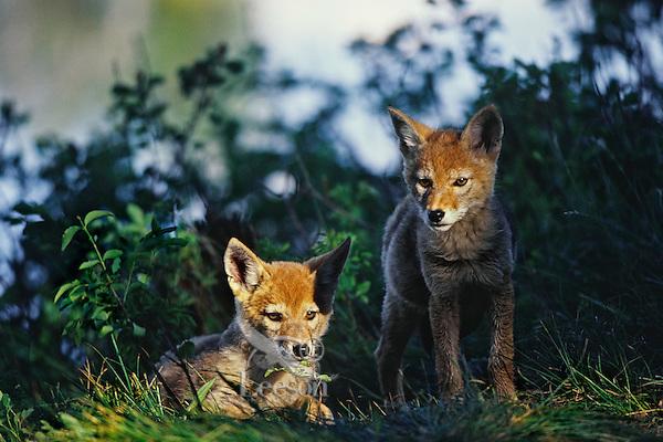 Wild Coyote (Canis latrans) pups near den area.  Western U.S., June.