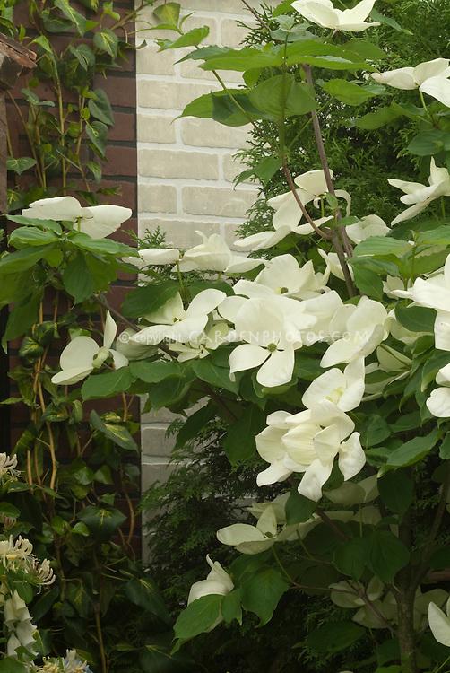 Flowering Dogwood Venus hybrid