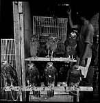 Jakarta, Indonesia. August, 2000.  Eagles and owls  sit on top of a cage for sale in Jalan Balito, Jakarta. The illegal animal trade has flourished since Suharto resigned from office in 1998 a result of the Asian economic crisis. The birds ranges in prices from $25 to $50 US dollars.