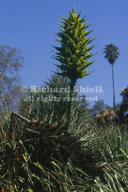 13148-AE Terrestrial Bromeliad w/ squirrel, Puya bertoniana, from Chile, succulent perennial, in April at Huntington Gardens, San Marino, CA USA