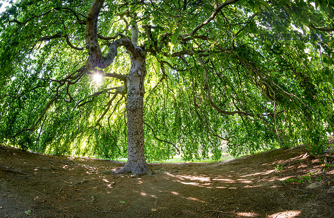 June 6, 2020; European weeping beech tree on main quad (Photo by Matt Cashore/University of Notre Dame)