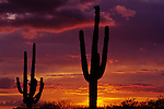 Silhouetted saguaro cactus sunset at dusk Arizona State USA