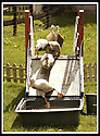 03/06/2002                   Copyright Pic : James Stewart.File Name : stewart-jubilee ducks 03.DONALD DUCK LEADS THE QUEEN'S DUCK, DUCK A L'ORANGE, AT THE JUBILEE DUCK RACE IN ABERFOYLE.....(see copy from George Mair / Tim Bugler).....Payments to :-.James Stewart Photo Agency, 19 Carronlea Drive, Falkirk. FK2 8DN      Vat Reg No. 607 6932 25.Office     : +44 (0)1324 570906     .Mobile  : +44 (0)7721 416997.Fax         :  +44 (0)1324 570906.E-mail  :  jim@jspa.co.uk.If you require further information then contact Jim Stewart on any of the numbers above.........