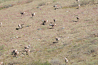 A group of caribou moves along a hillside along the Kongakut River, in Alaska's Arctic National Wildlife Refuge.