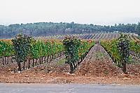 Vineyard. Quinta do Carmo, Estremoz, Alentejo, Portugal