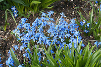 Scilla sibirica 'Spring Beauty' blue flowers spring bulbs in flower in March