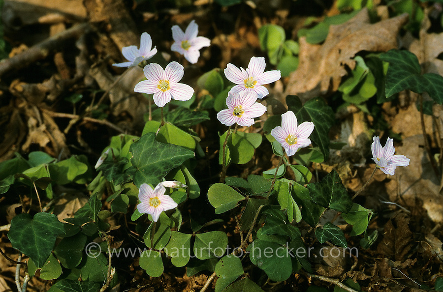 Wald-Sauerklee, Waldsauerklee, Sauerklee, Oxalis acetosella, Common Wood Sorrel