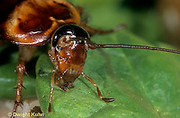 OR13-007a  American Cockroach - Periplaneta americana