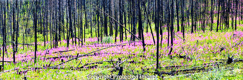 Fireweed gowing in and old burn.