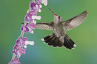 Broad-billed Hummingbird, Cynanthus latirostris, female in flight feeding on Mexican Bush Sage(Salvia leucantha),Tucson, Arizona, USA, September 2006