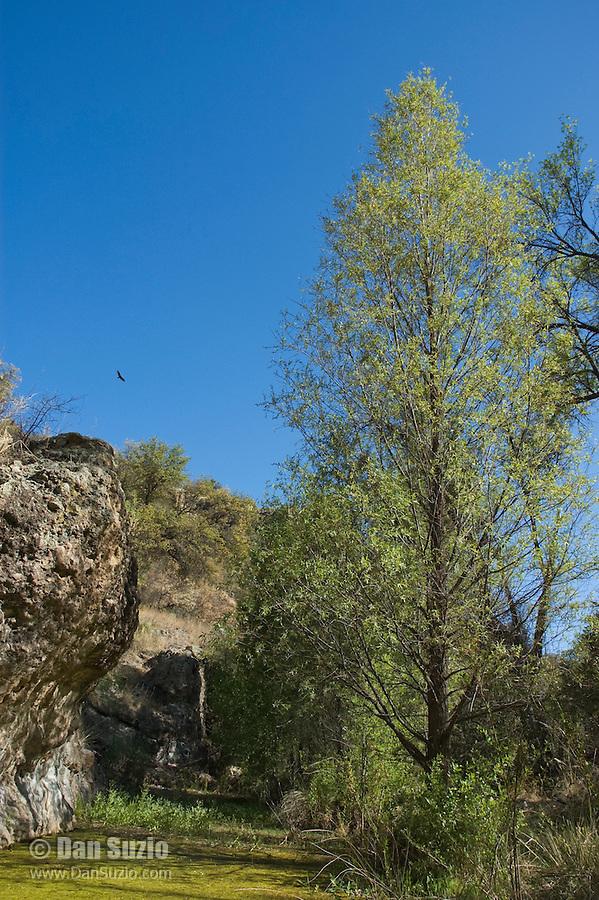 Turkey vulture, Cathartes aura, over Sycamore Canyon, Coronado National Forest, Arizona