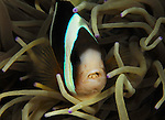 Anemone fish w Parasite in mouth, Lembeh Straits, Sulawesi Sea, Indonesia, Amazing Underwater Photography