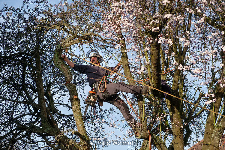 Tree surgeon uses an adjacent plum tree for support while felling an old Hawthorn tree weakened by gale force winds during Storm Ciara.  Camden, London.