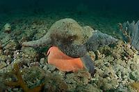Florida Horse Conch
