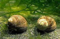 1Y36-010a  Periwinkle - common - Littorina littorea