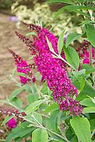 Butterfly Bush Buddleja davidii 'Miss Ruby'