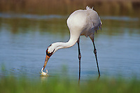 Whooping Crane feeding on blue crab in salt marsh, Aransas NWR, Texas.