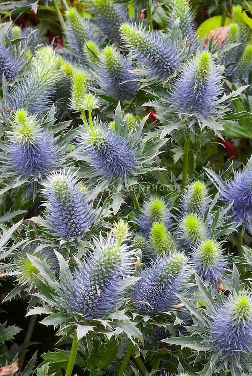 Eryngium 'Blue Orion' blue spiky flowers