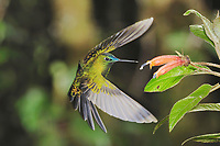 Sapphire-Vented Puffleg (Eriocnemis luciani), adult feeding from flower, Quito,Ecuador, Andes, South America