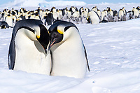 Snow Hill Island, Antarctica. Emperor penguin couple close-up with colony in background.