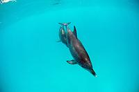 Atlantic spotted dolphin, Stenella frontalis, Bahamas, Caribbean, Atlantic Ocean