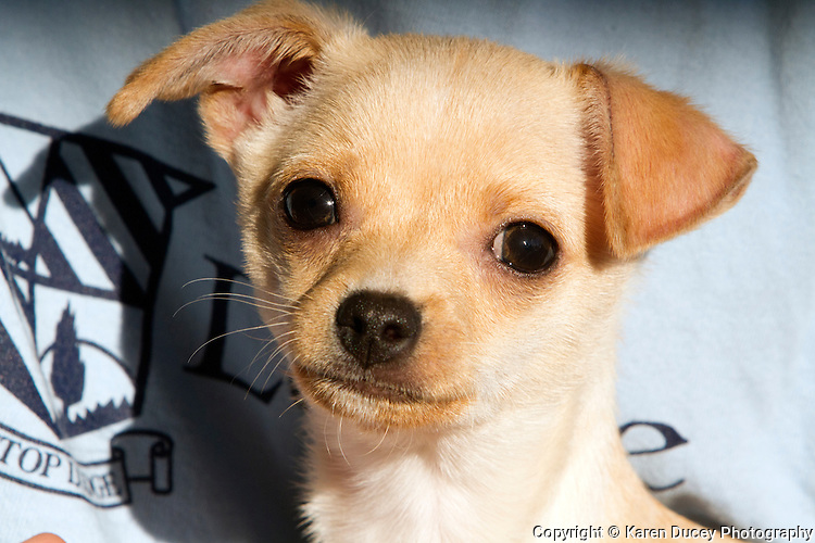 Chiweenie puppies
