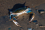 Blue crab resting in shallow waters at low tide.
