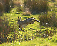 Brown hare (lepus europaeus) running and jumping at Oakenclough, Lancashire.