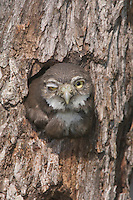 Ferruginous Pygmy-Owl, Glaucidium brasilianum, young in nesting hole, Willacy County, Rio Grande Valley, Texas, USA