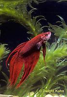 BY02-008z Siamese Fighting Fish - male - Betta splendens