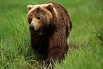 Grizzly bear walking through grass in Alaska