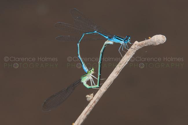 Stream Bluet (Enallagma exsulans) Damselfly - Mating Pair, Somerset County, New Jersey