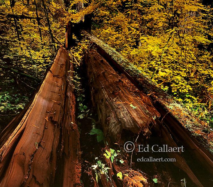 Downed Cedar, Constitution Grove, Waldo Lake Wilderness, Willamette-Deschutes National Forest, Oregon