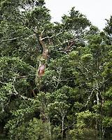 Native tree totara, South Westland, West Coast, New Zealand, NZ