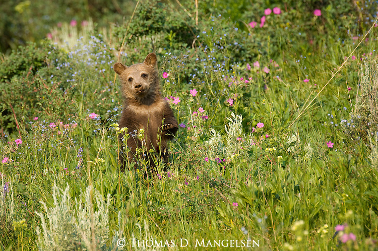 Brown bear cub stands in a meadow in Yellowstone National Park surrounded by spring wildflowers.