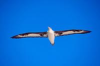soaring Laysan albatross, Phoebastria immutabilis, Midway Island, Northwestern Hawaiian Islands NMS (Pacific Ocean)