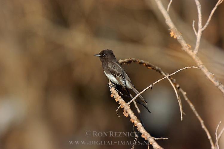 Black Phoebe, Tyrant Flycatcher, Sepulveda Wildlife Refuge, Southern California