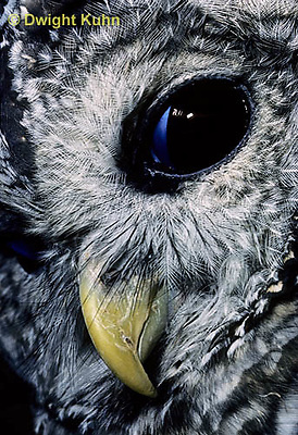 OW01-093z  Barred owl - blinking eye - Strix varia