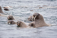 Female Atlantic walruses, Odobenus rosmarus rosmarus with cubs, Storoya, Svalbard, Norway, Europe, Arctic Ocean