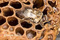 1B17-519z   Honeybee drone emerging from pupal case, Apis mellifera