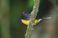 Slate-throated Redstart, Myioborus miniatus,adult perched, Central Valley, Costa Rica, Central America, December 2006