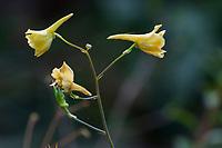 Delphinium luteum - Yellow Larkspur flowering in California native plant garden, Regional Parks Botanic Garden, Berkeley, California