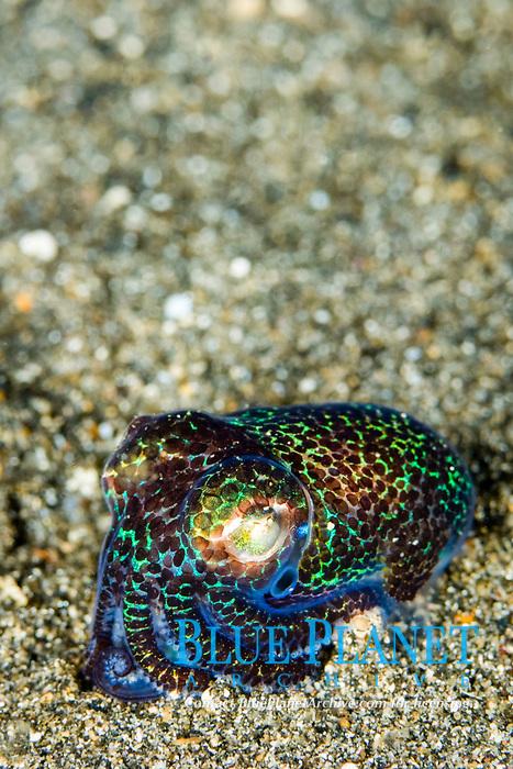 hummingbird bobtail squid, Euprymna berryi, aka Berry's bobtail squid, Lembeh Strait, Indonesia, Indo-Pacific Ocean