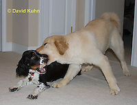 0801-0818  Golden Retriever and Tri-color English Springer Spaniel Play Fighting, Canis lupus familiaris © David Kuhn/Dwight Kuhn Photography.